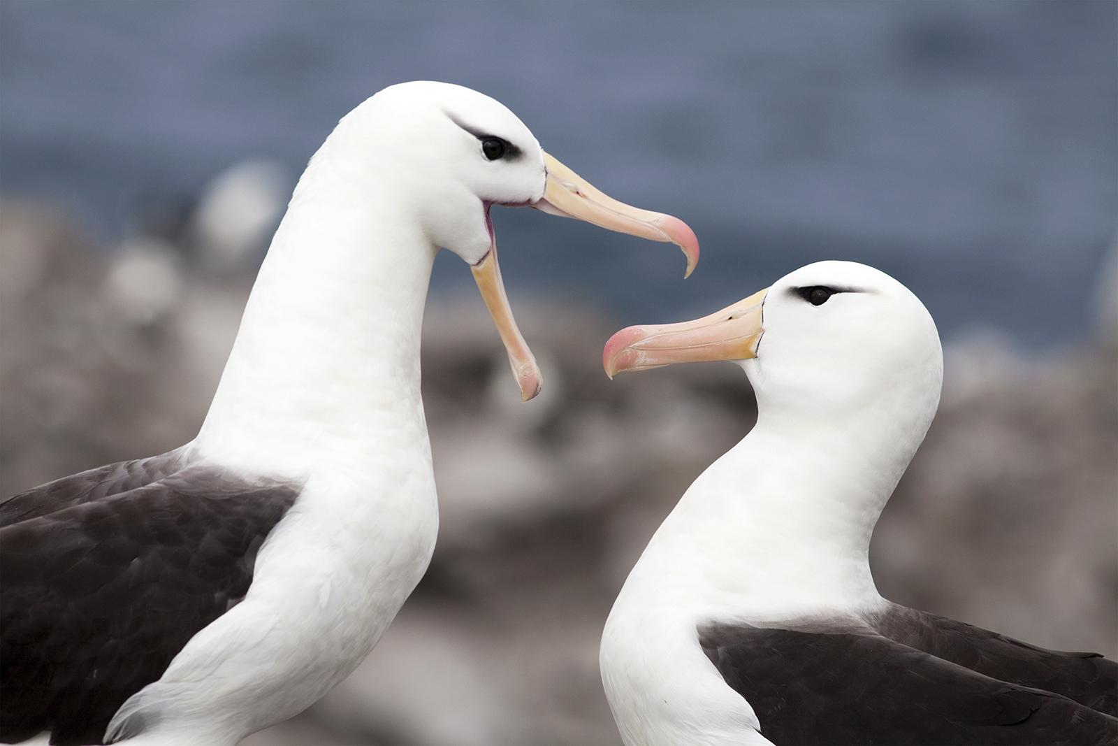 A Pair of Black-Browed Albatross, Falkland Islands